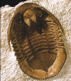 Do all Russian trilobites speak with forked hypostome?