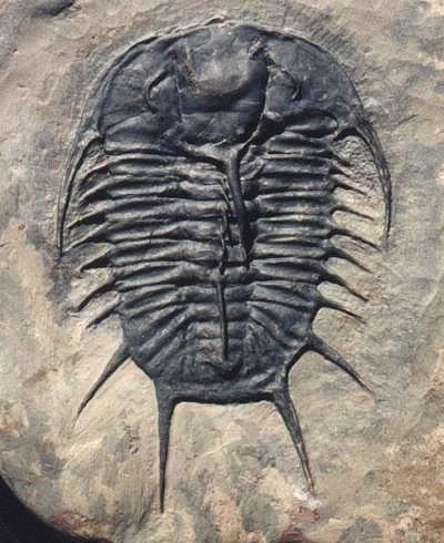 Picture of original trilobite