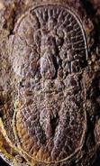 Glyptagnostus reticulans