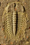 Oryctocephalus indicus