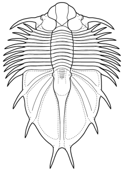 Acanthopyge