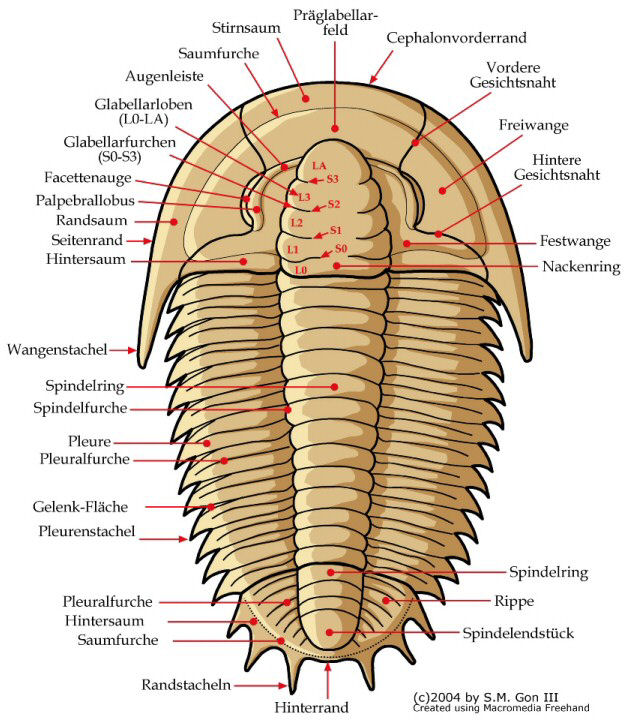 Dorsal Morphology (in German)