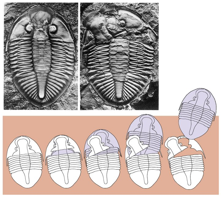 Some trilobite models come complete with sunroof...