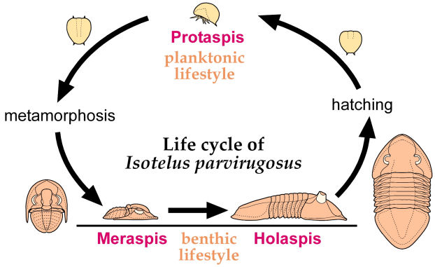 life cycle of Isotelus