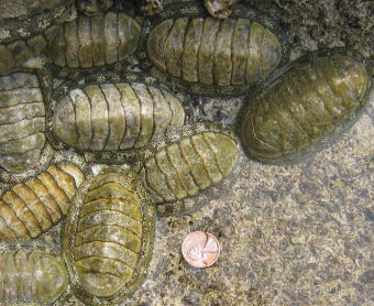 Chitons are mollusks with segmented shells