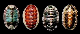 Chitons can be colorful